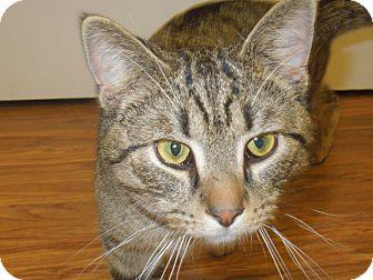 Domestic Shorthair Cat for adoption in Medina, Ohio - Harry