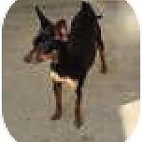 Adopt A Pet :: Tinkerbell is darling! - Leesport, PA