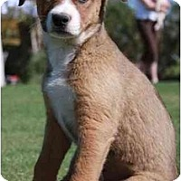 Adopt A Pet :: Ari - Gilbert, AZ