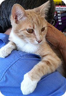 Manx Cat for adoption in Santa Monica, California - Mila