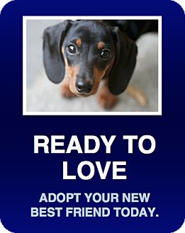 Dachshund Puppy for adoption in Morrisville, Pennsylvania - Penny