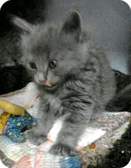 Domestic Longhair Kitten for adoption in Columbia, South Carolina - Blue