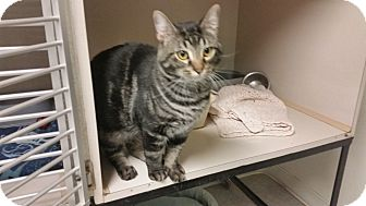Domestic Shorthair Cat for adoption in Indianola, Iowa - Olaf