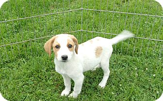 Brittany/Pointer Mix Puppy for adoption in Liberty Center, Ohio - Bentley