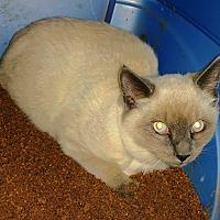 Siamese Cat for adoption in Grand Junction, Colorado - Siam