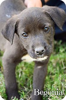 Border Collie Mix Puppy for adoption in DFW, Texas - Begonia