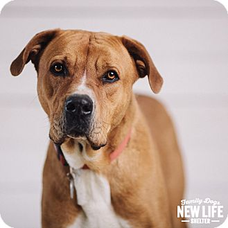 Mastiff Mix Dog for adoption in Portland, Oregon - Hoss
