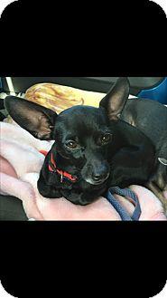 Chihuahua Mix Dog for adoption in Las Vegas, Nevada - Loki fomerly Flaki