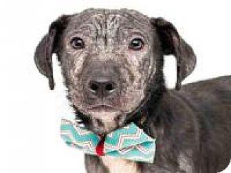 Labrador Retriever Dog for adoption in New Smyrna Beach, Florida - Storm**On Hold**