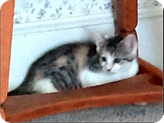 Calico Kitten for adoption in Central Falls, Rhode Island - Cassie
