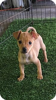 Chihuahua/Yorkie, Yorkshire Terrier Mix Puppy for adoption in Carson, California - PAN