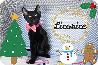 Domestic Shorthair Kitten for adoption in Montclair, California - Licorice