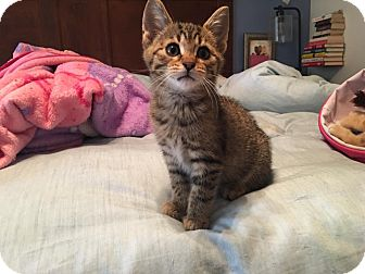 Domestic Shorthair Kitten for adoption in Clarkson, Kentucky - Buzz Lightyear