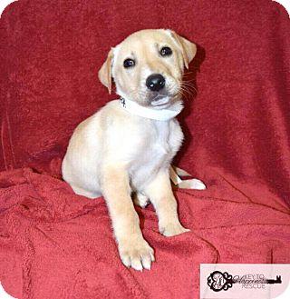 Labrador Retriever Mix Puppy for adoption in DeForest, Wisconsin - Cider
