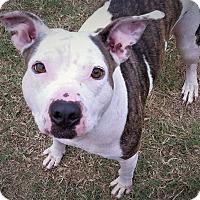 Staffordshire Bull Terrier Mix Dog for adoption in Allen, Texas - Diane