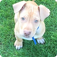 Adopt A Pet :: Bo-Adopted! - Detroit, MI