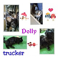 Domestic Mediumhair Cat for adoption in Tucson, Arizona - Dolly & Trucker *bonded pair*