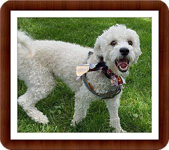 Bichon Frise Dog for adoption in Tulsa, Oklahoma - Adopted!! Magic - OH