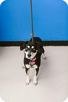 Australian Cattle Dog/Corgi Mix Dog for adoption in Chino Hills, California - Hippo - Claremont