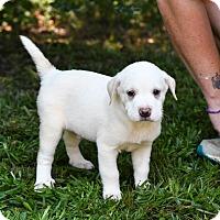 Adopt A Pet :: Iggy - South Dennis, MA