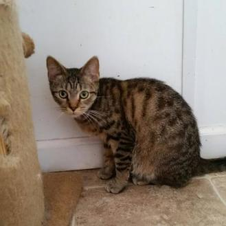 Domestic Shorthair/Domestic Shorthair Mix Cat for adoption in Shelbyville, Kentucky - Dibley
