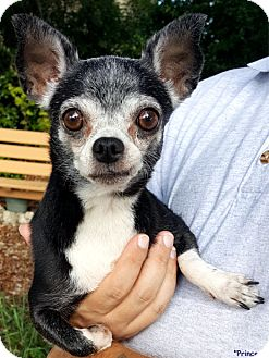 Chihuahua Mix Dog for adoption in Key Largo, Florida - Princess