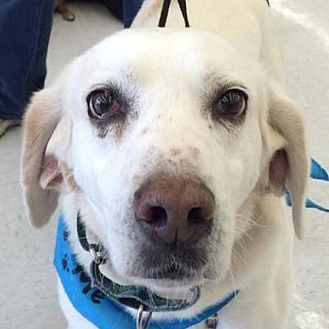 Foxhound Dog for adoption in Fairfax, Virginia - John *Adoption Pending*