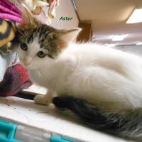 Adopt A Pet :: Aster - Oskaloosa, IA