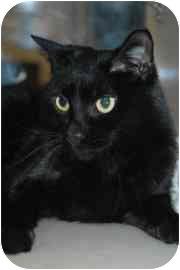 Domestic Shorthair Cat for adoption in Walker, Michigan - Lemonade