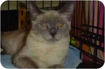 Siamese Cat for adoption in Upland, California - Brenna