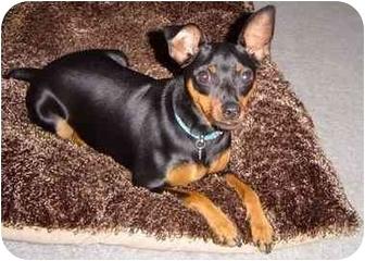 Miniature Pinscher Mix Dog for adoption in Nashville, Tennessee - Rockette