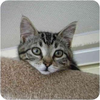 Domestic Mediumhair Kitten for adoption in Saanichton, British Columbia - Bunny