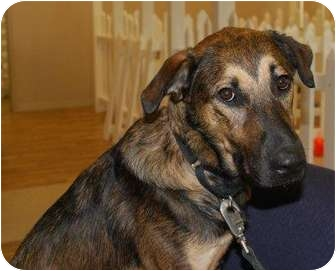 Shepherd (Unknown Type) Mix Dog for adoption in Sarasota, Florida - Clyde