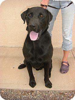 Labrador Retriever Dog for adoption in Alamogordo, New Mexico - Jason