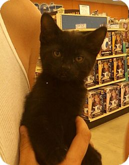 Domestic Shorthair Kitten for adoption in Troy, Ohio - Mo