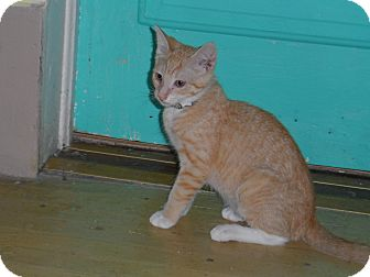 Domestic Shorthair Kitten for adoption in Tarboro, North Carolina - Manny