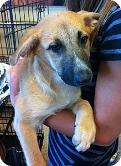 Shepherd (Unknown Type) Mix Puppy for adoption in Nuevo, California - Shelby