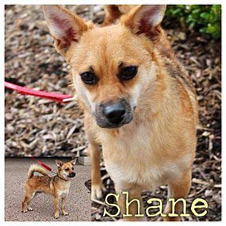 Chihuahua/Pomeranian Mix Dog for adoption in Garden City, Michigan - Shane