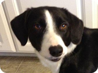 Border Collie Mix Dog for adoption in Smithfield, North Carolina - Spur