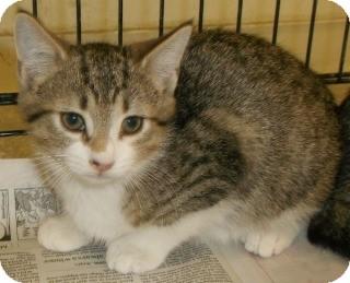Domestic Shorthair Kitten for adoption in Olive Branch, Mississippi - Doodle