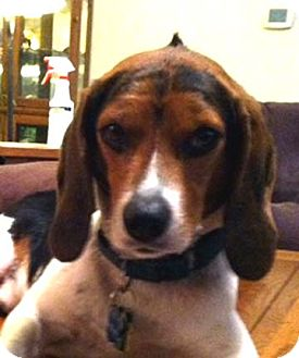 Beagle Dog for adoption in Houston, Texas - Henry - adorable