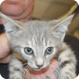 Domestic Shorthair Kitten for adoption in Brooklyn, New York - Paula