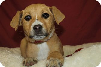 Hound (Unknown Type) Mix Puppy for adoption in Waldorf, Maryland - Pinky