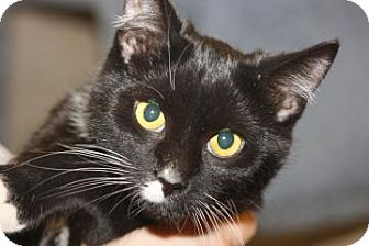 Domestic Shorthair Cat for adoption in Mt. Pleasant, Michigan - Ruby