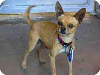 Chihuahua Dog for adoption in El Cajon, California - Waffles-Adoption Pending