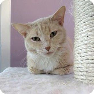 Domestic Shorthair Cat for adoption in Janesville, Wisconsin - Snow