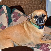 Adopt A Pet :: Ginger - Westfield, IN