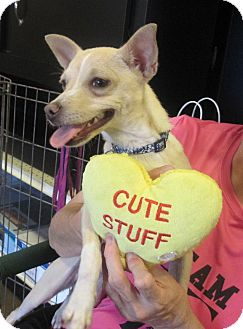 Chihuahua Mix Dog for adoption in Overland Park, Kansas - Tia Marie