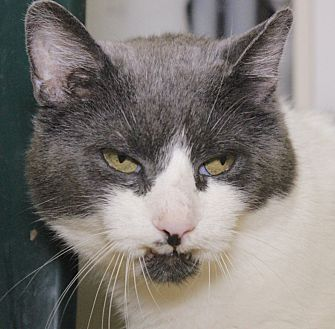 Domestic Shorthair Cat for adoption in Middletown, Connecticut - Tippy