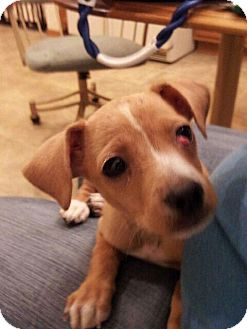 Chihuahua/Australian Cattle Dog Mix Dog for adoption in Denver, Colorado - Buddy the Elf